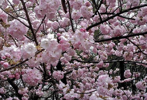 2017 No10 桜散り